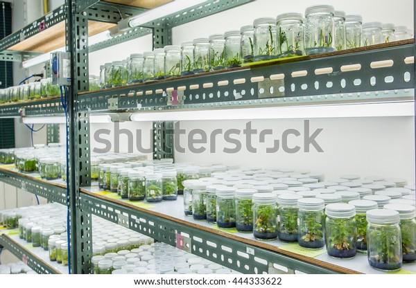 Pflanzengewebe im Labor, Laborgewebe an der Universität
