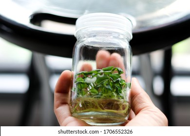 """Plant tissue culture of """"Philodendron Atom"""" in glass bottle, on the hand with blur background/Defocus."""