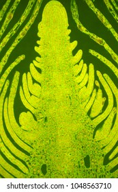 Plant tissues under fluorescent microscope
