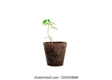 plant of tomato isolated on white background