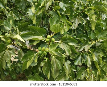 plant or tree with green leaves and green fig fruit