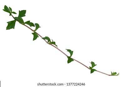 Plant tropical foliage vine, Ivy green hang isolated on white background