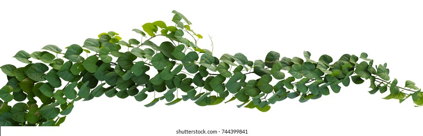Plant tropical foliage vine, Ivy green hang isolated on white background, clipping path