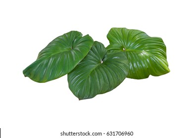 Plant tropical jungle leaves, The plant used design pattern, on white background, clipping path.