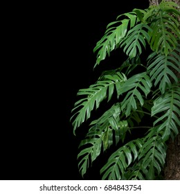 plant tropical leaves jungle, dark green foliage isolated on black background. Clipping path