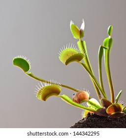 plant of venus fly trap counter light