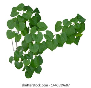 Plant vine green ivy leaves tropic hanging, climbing isolated on white background. Clipping path