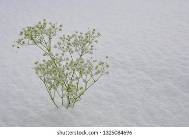 Plant with white flowers in a snowy ground
