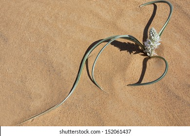 Plant with white petals in desert sand, Morocco.