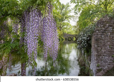 Plant of wisteria and historic bridge in the distance in the Garden of Ninfa in the province of Latina, Italy, Europe.