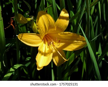 plant with yellow flowers called daylily growing in the garden in the village of Fasty in the Podlasie region in Poland - Shutterstock ID 1757025131