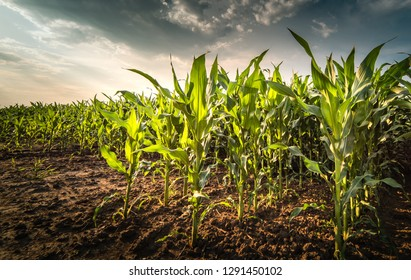 Plant of young green corn at field at stormy day