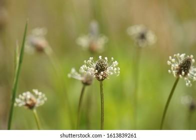 Plantago lanceolata with cute stamens extending radially