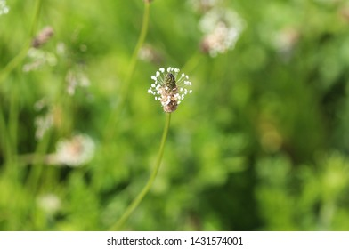 Plantago lanceolata, It is known by the common names ribwort plantain, narrowleaf plantain, English plantain and ribleaf