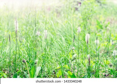 Plantain blooms. Blooming hoary plantain on a meadow. Plantago media.