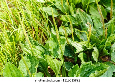 Plantain flowering plant with green leaf. Plantago major (broadleaf plantain, white man's foot or greater plantain)