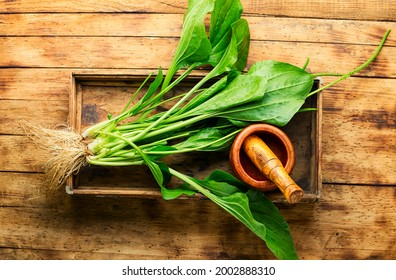 Plantain leaf in alternative medicine. Healing potion, herbal medicine.