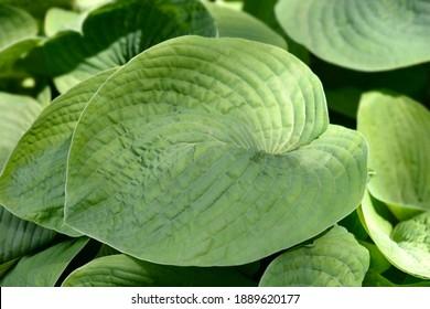 Plantain lily Elegans leaves - Latin name - Hosta sieboldiana Elegans