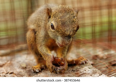 Plantain squirrel in captivity eating a cockroach