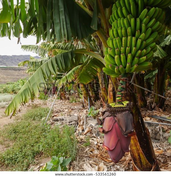 Plantains (bananas) a delicious tropical fruit on a plantation at La Palma, Canary islands, Spain.