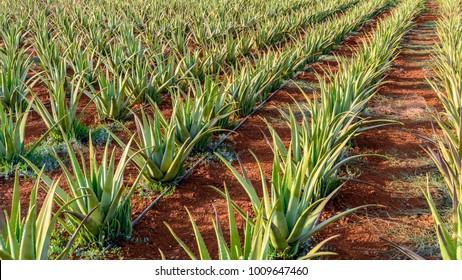 Plantation of aloe vera on the island of Crete, Greece.