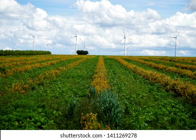 plantation of aronia shrubs with blue sky (clouds) and wind-turbines background. Aronia chokeberries growing in a field. good health, Antioxidant rich and Superfruit. Agricultural Marketing picture.