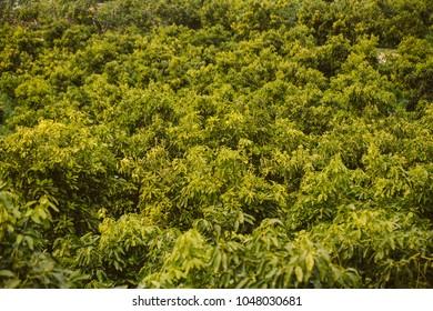 Plantation of avocado trees.