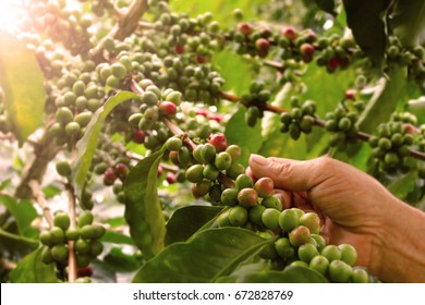 Plantation of Colombian Coffee Beans