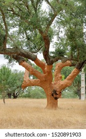 Plantation of cork oak trees (Quercus suber) with freshly crumbled bark in Alentejo, Portugal. Portugal produces about half the world output of commercial cork.