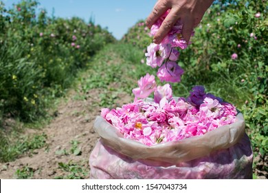 Plantation crops roses. Roses used in perfume industry.