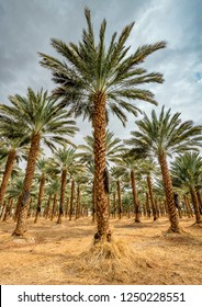 Plantation of date palms. Image depicts advanced tropical and desert agriculture in industry the Middle East