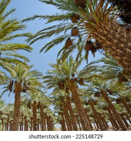 Plantation of Date Palms in the Jordan Valley, Israel