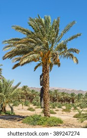 Plantation of date palms and one lonely tree as foreground