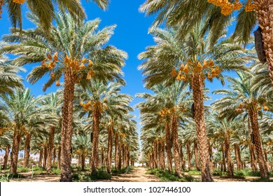 Plantation of date palms. Tropical agriculture industry in the Middle East