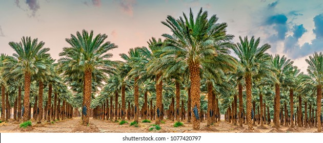 Plantation of date palms. Tropical agriculture industry in the Middle East. Panorama of several frames during sunrise
