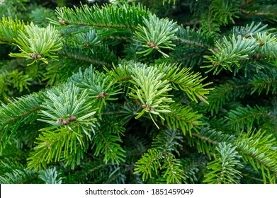 Plantation of evergreen nordmann firs, christmas tree growing ourdoor close up - Shutterstock ID 1851459049