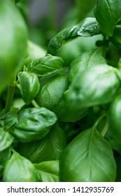 plantation of fresh aromatic and basil