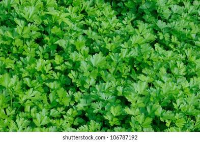 Plantation of green parsley in vegetable garden