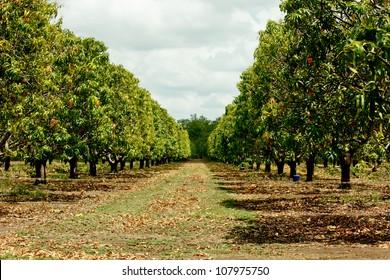 Plantation of mango trees