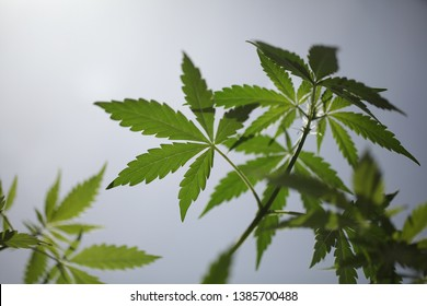 Smoking Weed Stock Photos, Images & Photography | Shutterstock