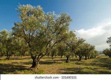 Plantation of olive trees.