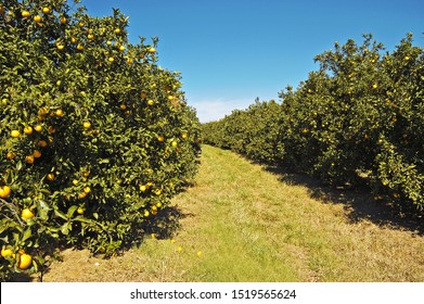 plantation of oranges with fruits and whole plant