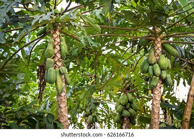 Plantation with Papaya trees in asia