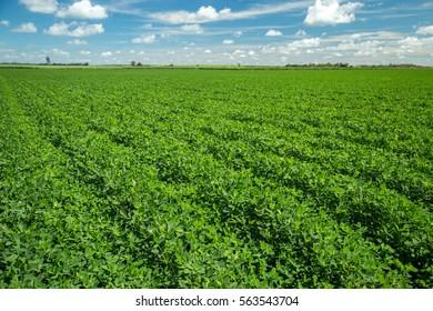 plantation peanut