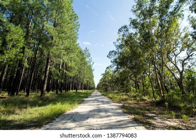 Plantation of Radiata Pine and native Australian Eucalypt Forest are growing each side of a dirt road used as a fire break in Bundaberg, Australia.