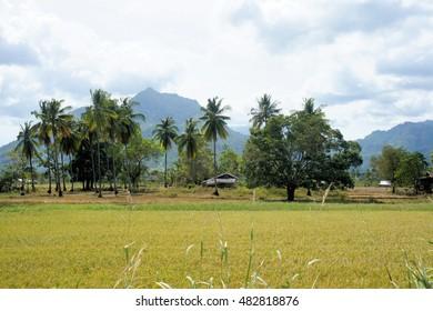 Plantation of rice fields. Palawan Island. Philippines.
