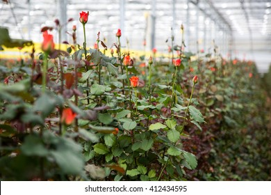 Plantation roses in a greenhouse