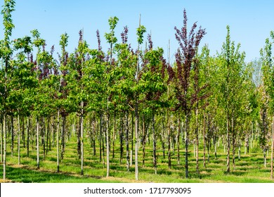 Plantation with rows of green garden decorative trees in different shapes in sunny day