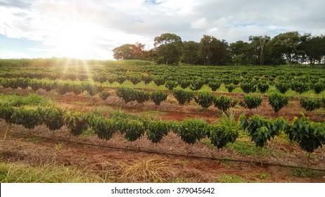 Plantation - Sunlight at the coffee plantation landscape - Brazil