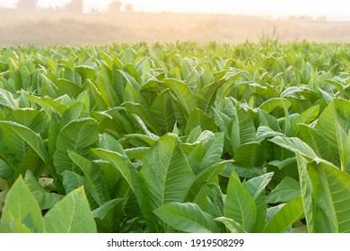 Plantation tobacco grown in the farmland